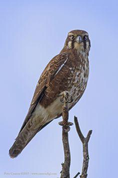 Australian Falcon.