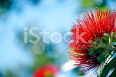 A Close-Up of the Pohutukawa flower . This New Zealand coastal tree. Kiwiana, Turquoise Water, Christmas Background, Medicinal Plants, Native Plants, Four Seasons, Image Now, New Zealand, Close Up