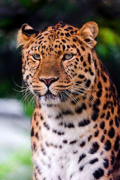 Calm and beautiful Amur leopard by Tambako the Jaguar, via Flickr