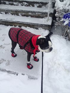 This 11 Years Old Boston Terrier Rescue named Marcus does not like the northeast winters! ► http://www.bterrier.com/?p=27004 - https://www.facebook.com/bterrierdogs