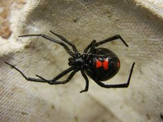 PICUTES OF BLACK WIDOWS | File:Adult Female Black Widow.jpg - Wikipedia, the free encyclopedia