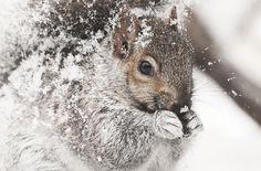 Squirrel Animal Wild Wildlife Winter Nature Cold Snow Portrait Close-up Montreal Quebec Canada Nikon Specanimal - PicShip Beautiful Creatures, Animals Beautiful, Cute Animals, Narnia, Little Critter, Tier Fotos, All Gods Creatures, Hamsters, Woodland Creatures