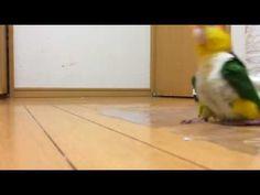 cute parrot walking - YouTube