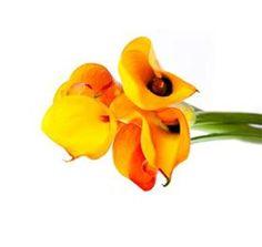 Calla Lily Mango  Mayesh Wholesale Florists