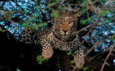 Leopard in Central Namibia | Outdoor Channel