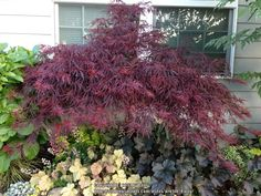 Photo of Cutleaf Japanese Maple (Acer palmatum 'Red Dragon') uploaded by Patty