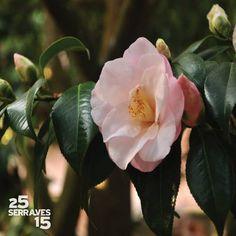 """O Inverno já está à porta e a celebrá-lo efusivamente estão as camélias (Camellia sp.). Os japoneses chamam-lhe """"tsubaki"""", árvore Primavera, e uma das variedades mais destacada no Parque de Serralves é a """"Hagoromo"""". O seu nome significa """"vestido de penas"""" em japonês, aludindo aos trajes das """"tennin"""", entidades celestiais que não podem regressar ao céu sem o hagoromo. Aproveite o fim de semana e venha visitá-las aos parterres Central e Lateral. (Foto: Ana Oliveira"""