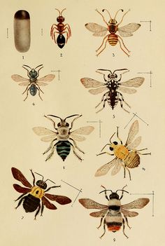Here is a whole collection of wasps. Wasps are largely the good guys of the insect kingdom. Many are parasitic. Others pollinate flowers. Thank you Biodiversity Library http://www.flickr.com/photos/biodivlibrary