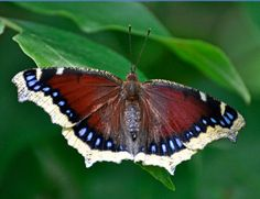 Brown Butterfly with Wings Spread