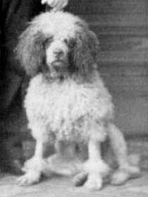 1865 Poodle