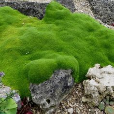 Arenaria Wallowa Mountains / Wallowa Mountains Mossy Sandwort (Desert Moss) is a great groundcover plant with tiny bright green evergreen leaves. Looks great as a crack filler between flagstone and paving stones.
