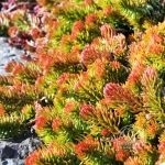 Angelina Stonecrop in Fall color. If you like succulents, you will love Angelina.  A low growing stonecrop. It's an excellent groundcover for sunny, dry areas.  The tips of the leaves become reddish-orange when cooler temperatures arrive in fall and will last throughout the winter.  Although it does produce flowers, they are yellow and insignificant compared to the foliage.  'Angelina' is very easy to grow and care for, providing colour all season – hard to beat! Full Sun