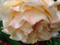 Vaalean keltainen ruusu