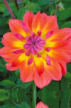 #Dahlias décoratifs 'Tricolore'