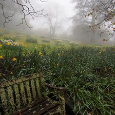Daffodils in a mist...finally some rain