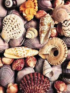 There's such an infinite variety of seashells, could study them for a lifetime!