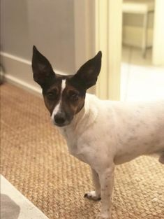 Rodney is a Jack Russell Terrier rescue dog for adoption in Columbia, Tennessee. He is housed at Russell Rescue, Inc. Terrier Rescue, Rat Terriers, Terrier Dogs, Rescue Dogs For Adoption, Foster To Adopt, Jack Russell Terrier, Snuggles, Chihuahua, Tennessee