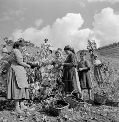Grape harvest for Port Wine - Douro Valley (Portugal) - photo by Artur Pastor Old Pictures, Old Photos, Vintage Photos, Portuguese Culture, Douro Valley, Wine Photography, In Vino Veritas, Italian Wine, Port Wine