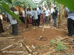 Kabale district - Project team shows how banana residues are incorporated in a banana plantation in Rakai district for soil fertility improvement.