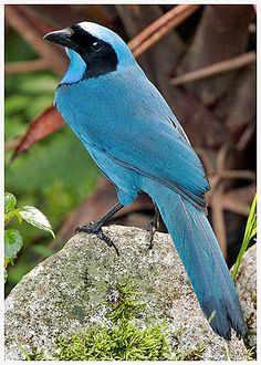 The Turquoise Jay is a species of bird in the Corvidae family. It is a vibrant blue jay with a black face mask and collar found exclusively in South America throughout southern Colombia, Ecuador, and northern Peru.