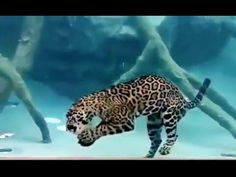 Jaguar Diving Underwater for more than 30 second - YouTube