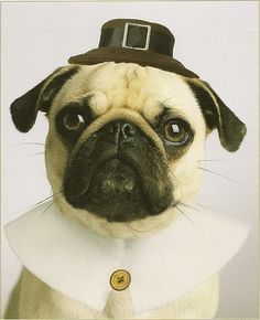 happy thanksgiving pug