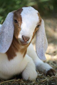 Sweet Brownknee - Baby goat, Philo, CA