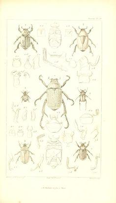 t. 1 - Traité élémentaire d'entomologie - Biodiversity Heritage Library