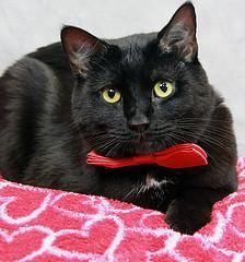 Petango.com – Meet Milo, a 3 years 2 months Domestic Shorthair / Mix available for adoption in LOUISVILLE, KY