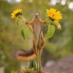 red squirrel between two sunflowers Cute Baby Animals, Animals And Pets, Funny Animals, Wild Animals, Beautiful Creatures, Animals Beautiful, Cute Squirrel, Squirrels, Tier Fotos
