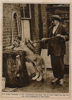 London zoo, leeuw 1926