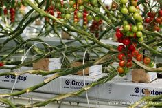 A closer look at the base of the cherry tomato plants, growing inside the glasshouses, at Eric Wall Ltd, in Barnham, Chichester, West Sussex.…