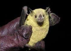 Little bat covered in pollen
