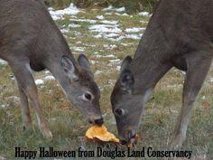 deer love pumpkins........who knew