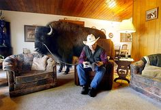 Jim Sautner reads in his living room with his trained 1,600-pound buffalo Bailey in Spruce Grove, Canada