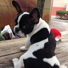 Whatcha say ? Cute Puppies, Cute Dogs, Dogs And Puppies, Doggies, Cute French Bulldog, French Bulldogs, Animal Pictures, Cute Pictures, Dog Rules