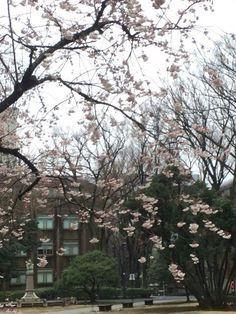 東大の寒桜