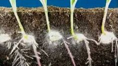 Time lapse fast growing corn, roots and leaves growing,