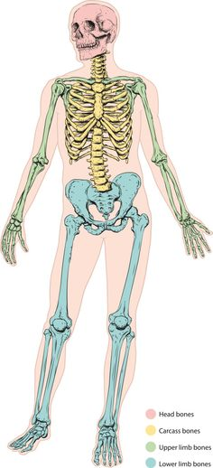 Human Skeleton   #Education #Skeleton #Anatomy #Kids