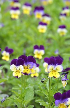 I love johnny Jump-ups and Pansys. They were my Grandma's favorite flowers and I spent the first part of every Spring planting them in the many wine barrels she had around her yard. As Summer wore on their beauty and fragrance were a feast for the senses.