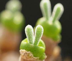 Monilaria obconica rabbit ear😍