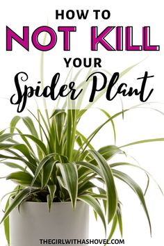 Want to know how to NOT KILL your spider plant?! Here's how! HOW TO EASILY KEEP YOUR SPIDER PLANT ALIVE | How to Grow Spider Plant | Spider Plant Care | Indoor Spider Plant Care Tips | How to Grow Spider Plant Houseplant | How to Care for Spider Plant | Spider Plant Care Guide | Tips on How to Grow Spider Plant | Spider Plant Care Light Requirements | #spiderplant #spiderplantcare