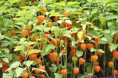 Uchuva (Physalis peruviana) | Plantas