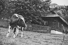 bwstock.photography - photo   free download black and white photos  //  #cow #wooden #house Black White Photos, Black And White, Free Black, Public Domain, Cow, Horses, Wooden House, Animals, Photography