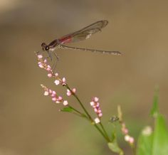 Bles-Ruby-Spot-Damselfly-Oct-7-2007-1.jpg (400×371)