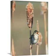Marsh Wren Singing While Perching On A Common Cattail, North America By Tim Fitzharris, 24 X 16-Inch Wall Art