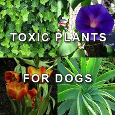 What are the dangerous and toxic plants for dogs? Many different types of plants and flowers can be poisonous for dogs. Some can only cause stomach upset, while others can cause coma or even death. The following list is including the most common plants that dogs should not eat because they are d