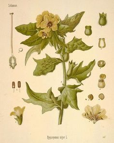 silverwitch:- Henbane, also known as stinking nightshade or black henbane, is a plant of the family Solanaceae that originated in Eurasia, though it is now globally distributed.  Remember with the healing arts what can heal can also kill in some cases this is one of them
