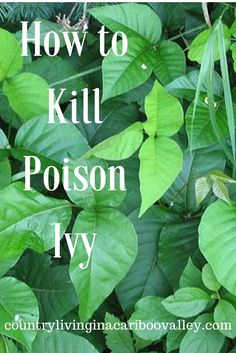 Poison Ivy and Weed Killer That Really Works Homemade Solution for getting rid of Poison Ivy!Homemade Solution for getting rid of Poison Ivy!