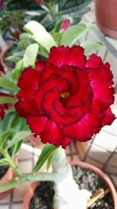 Rose C.